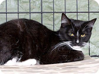 Domestic Shorthair Cat for adoption in Marlinton, West Virginia - Selena