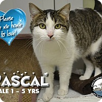 Domestic Shorthair Cat for adoption in Davenport, Iowa - Rascal