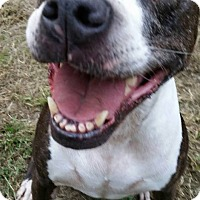 Adopt A Pet :: Shasta - SEattle, WA