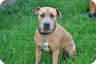 Mastiff/American Bulldog Mix Dog for adoption in Hazlehurst, Georgia - Zeus aka Goofy