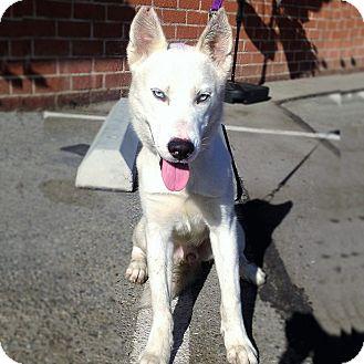 Husky Mix Puppy for adoption in Redondo Beach, California - Pooka
