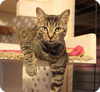 Domestic Shorthair Cat for adoption in Carlisle, Pennsylvania - Wren