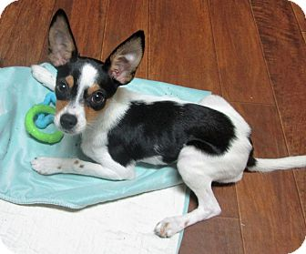 Rat Terrier Puppy for adoption in Carlisle, Pennsylvania - Breezy