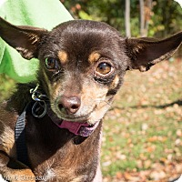 Chihuahua Mix Dog for adoption in Loudonville, New York - Cricket