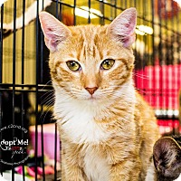 Domestic Shorthair Kitten for adoption in Mooresville, North Carolina - A..  Megan