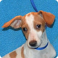 Dachshund Mix Dog for adoption in Mukwonago, Wisconsin - **ZACHARY** MEET DEC 17TH!