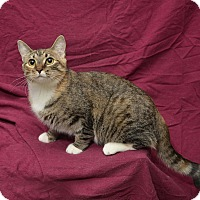 Domestic Shorthair Cat for adoption in Chattanooga, Tennessee - Emma
