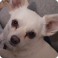 Chihuahua Mix Dog for adoption in Grass Valley, California - Shelby