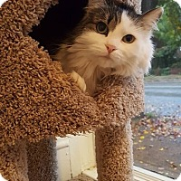 Domestic Longhair Cat for adoption in St. Louis, Missouri - Parsley