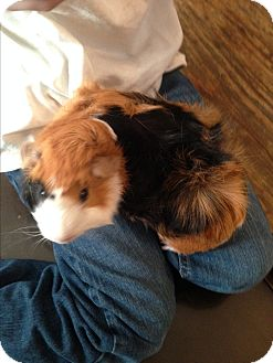 Guinea Pig for adoption in South Bend, Indiana - Rocky & Boomer