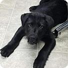 Adopt A Pet :: Lancelot-Shelter