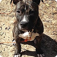 Adopt A Pet :: Bella - Clarksburg, MD