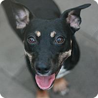 Adopt A Pet :: Jenny - Canoga Park, CA