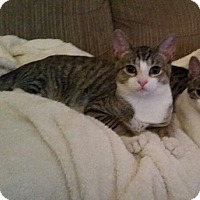 Adopt A Pet :: Pebbles - Horsham, PA