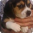 Adopt A Pet :: Tri Beagle Moses