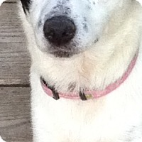 Adopt A Pet :: LACY - Pompton Lakes, NJ