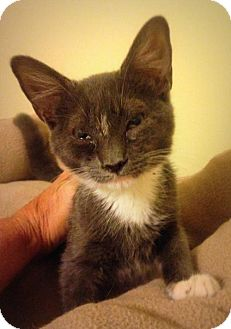 Domestic Shorthair Kitten for adoption in Centerville, Georgia - Smokey