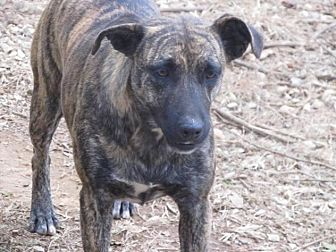 Dutch Shepherd Mix Dog for adoption in Hayden, Alabama - Missy