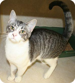 Domestic Shorthair Cat for adoption in Salisbury, North Carolina - Sugar