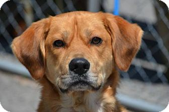 Labrador Retriever/Golden Retriever Mix Dog for adoption in Southeastern, Pennsylvania - Sam