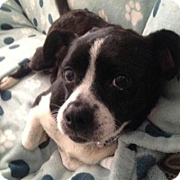 Adopt A Pet :: Pixie - Joliet, IL