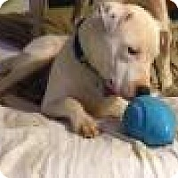 American Pit Bull Terrier Mix Dog for adoption in Bakersville, North Carolina - Duke