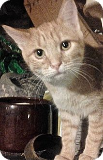 Domestic Shorthair Cat for adoption in Buhl, Idaho - Valley