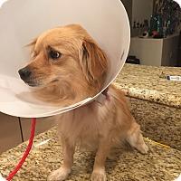 Adopt A Pet :: Pinsir - Las Vegas, NV