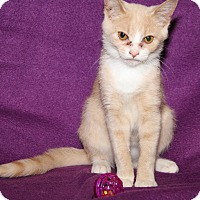 Domestic Shorthair Cat for adoption in Marietta, Ohio - Cremora (Spayed)