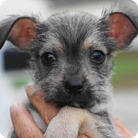 Adopt A Pet :: Thorn - Holly Springs, NC