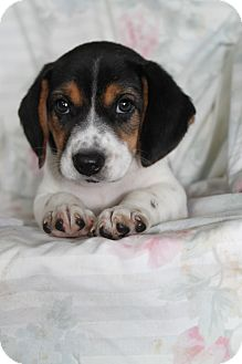 Australian Shepherd/Beagle Mix Puppy for adoption in Trenton, New Jersey - Ellie (adoption pending)