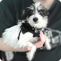 Adopt A Pet :: Misty - Thousand Oaks, CA