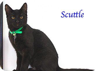 Domestic Shorthair Kitten for adoption in Bradenton, Florida - Scuttle