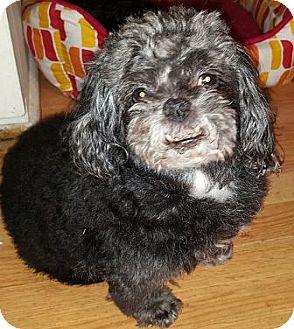 Poodle (Miniature)/Pekingese Mix Dog for adoption in Cary, North Carolina - Rocky