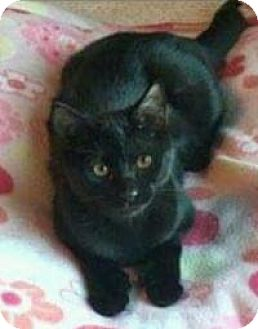 Domestic Shorthair Cat for adoption in Rochester, Michigan - Nala