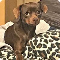 Adopt A Pet :: Prancer - McKinney, TX