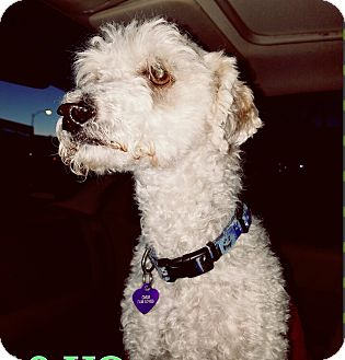 Poodle (Miniature) Dog for adoption in Las Vegas, Nevada - Gregory Peck