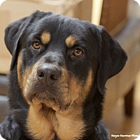 Adopt A Pet :: Moose - Knoxville, TN