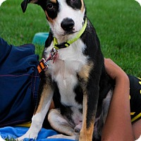 Greater Swiss Mountain Dog/Hound (Unknown Type) Mix Dog for adoption in Maple Grove, Minnesota - Flygone