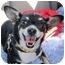Photo 1 - Chihuahua/Corgi Mix Dog for adoption in Denver, Colorado - Sophie