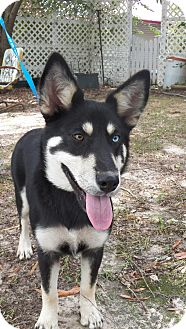 Husky/Shepherd (Unknown Type) Mix Puppy for adoption in Adamsville, Tennessee - Sophie