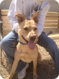 Shar Pei/Shepherd (Unknown Type) Mix Dog for adoption in Mira Loma, California - Laverne