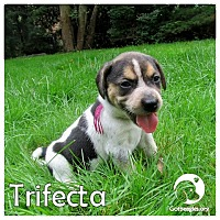 Adopt A Pet :: Trifecta - Novi, MI