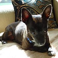 Adopt A Pet :: Negrita - Ocean Ridge, FL