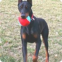Adopt A Pet :: Bruno - Arlington, VA