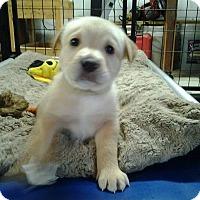 Adopt A Pet :: Sophia Brown - Westminster, MD