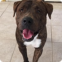 Adopt A Pet :: Bear - Las Vegas, NV