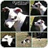 Adopt A Pet :: MILLIE - CHAMPAIGN, IL