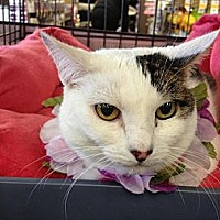Turkish Van Cat for adoption in Cerritos, California - DaisyMae