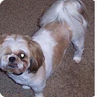 Adopt A Pet :: Dutch - LEXINGTON, KY